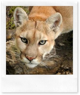 mountain-lion-cody-s-hoagland-dow